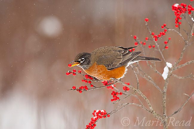 American Robin (Turdus migratorius), feeding on winterberry (Ilex) fruits in winter, New York, USA