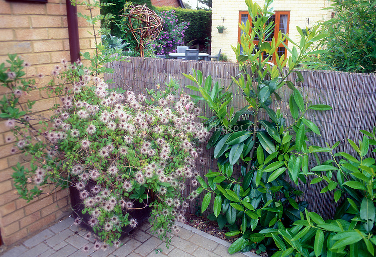 Clematis vine in container & fluffy seedheads, on patio next to privacy fence and in corner next to house