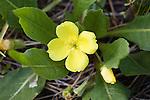 A Primrose wildflower