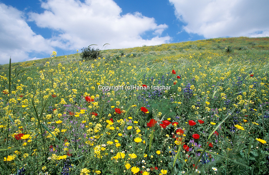 Springtime at Tel Shocha, at the entrance to Ha'ela Valley controlling the ancient road from the Coastal Plain to Hebron and Jerusalem Mountains