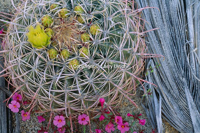 Bigelow's monkeyflower and California barrel cactus Mountain Palm Springs<br /> Anza-Borrego Desert State Park<br /> San Diego County,  California