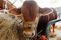 Vaches de race Limousine