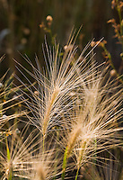 Hordeum jubatum - Foxtail Grass (a.k.a. Squirrel's Tail Grass) seed head and long awns