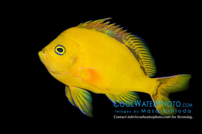 Hawaiian deep anthias or yellow anthias, Odontanthias fuscipinnis, very rare and endemic to Hawaii, Pacific Ocean (c)
