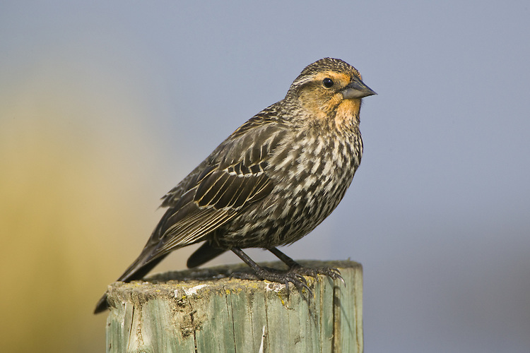 Female Red-winged Blackbird perched on a fence poist