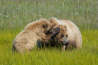 Alaskan brown bear sow and her cub playing in Lake Clark National Park, Alaska