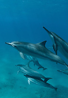 A pod of spinner dolphins at red hill Maui Hawaii.<br />