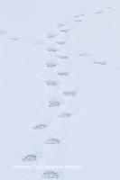 01874-13216 Polar Bear (Ursus maritimus) tracks Churchill Wildlife Management Area, Churchill, MB