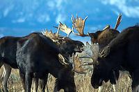 Four Bull moose fighting in Grand Teton National Park, Jackson Hole, Wyoming
