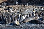 King Penguins, Elephant Seals & Fur Seals