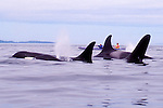Orca whales, sea kayakers, Inside Passage, Johnstone Strait, Vancouver Island, British Columbia, Canada, North America, Northern resident pod, Orcinus orca.