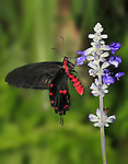 Butterfly, Swallowtail, Common Rose, Atrophaneura, Pachliopta aristolochiae
