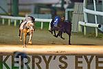 KnockToo Garry winner of the J and B O'Sullivan Builders Ltd A2 525 Final at the Kingdom Greyhound  Stadium on Saturday