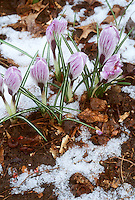 Crocuses spring bulbs blooming in winter snow