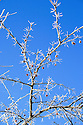 Frozen frosted tree branch with red berries against blue sky