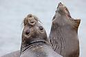 Southern Elephant Seal females (Mirounga leonina). King Haakon Bay, South Georgia. November.