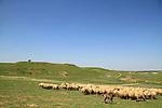 Israel, Coastal Plain, a flock of sheep at the foothill of Tel Nagila