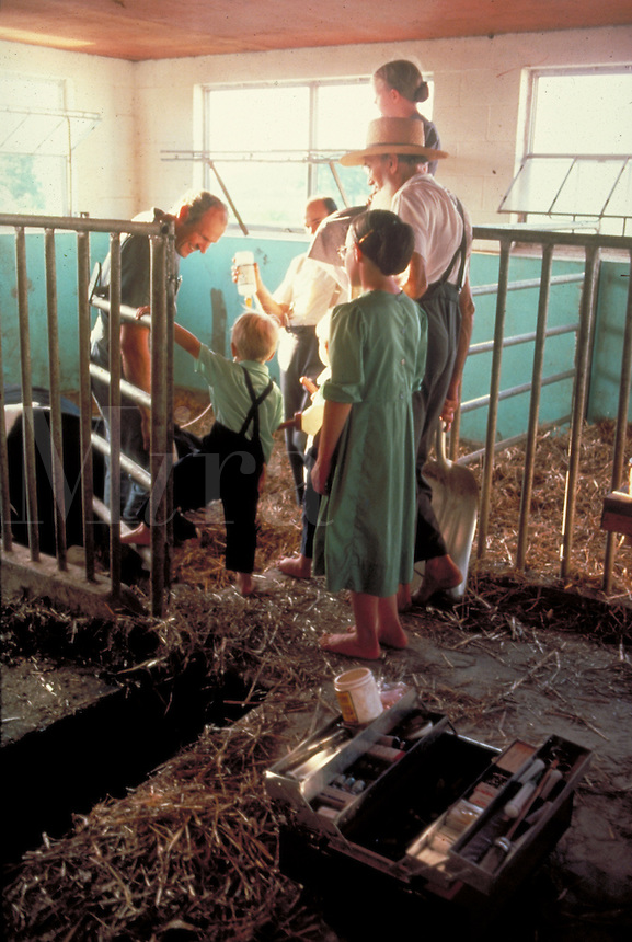 With an Amish family--children, grandfather and father--standing by a veterinarian provides medicine to an ill milking cow. veterinarian and Amish. Lancaster Pennsylvania United States farm.