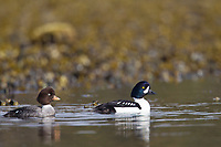 Male and female barrow's goldeneye ducks swim along the shore of Prince William Sound, southcentral, Alaska