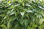 Green Yellow Sweet Caroline Ornamental Sweet Potato, Ipomoea hybrid
