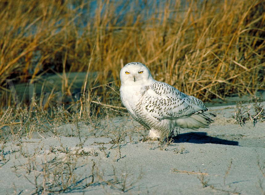Snowy Owl at West End Jones Beach. Long Island New York, West End Jones Beach.