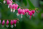 Jan's Garden Bleeding Hearts