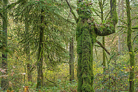USA, Washington, Camas, Lacamas Park, Autumn forest with moss-covered bigleaf maple and western hemlock trees.