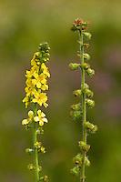 Kleiner Odermennig, Agrimonia eupatoria, Agrimonia eupatorium, Agrimony, Cocklebur