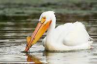 A White Pelican forages in a pond in Bozeman, Montana.
