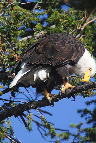 A BALD EAGLE PERCHED ON A TREE BRANCH ALONG THE HEART LAKE TRAIL IN YELLOWSTONE NATIONAL PARK,WYOMING