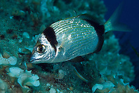 Two-banded seabream (Diplodus vulgaris)<br /> France: Corsica, Lavezzi Archipelago, Passage du Cavallo, 'Turtle Rock'
