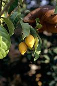 La Gongue, Gabon. Yellow Iboga fruit; a male stimulant also used in ceremonial rites; Tabernanthe iboga.