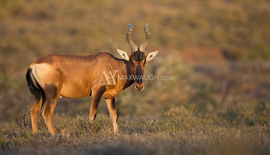 The red hartebeest is one of many antelope species found in South Africa.