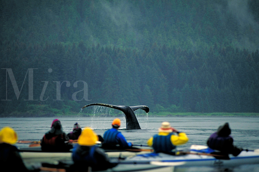 A humpback whale dives or sounds just in front of a group of kayakers in the ocean waters surrounding the Tongass National Forest in Southeast Alaska. Alaska, Southeast Alaska.