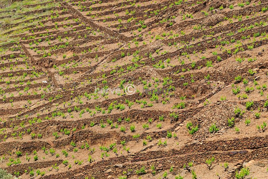 France, Pyrénées-Orientales (66), Cerbère, vignoble AOC de Banyuls // France, Pyrenees Orientales, Cerbere, the vineyard of  Banyules