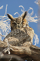 Owl - Great Horned