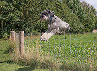 Giant Schnauzer female jumping over a fence, Market Rasen, Lincolnshire.