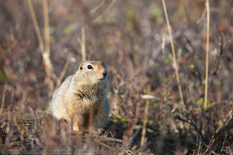 Arctic ground squirrel, Gates of the Arctic National Park, Alaska.