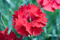 Dianthus 'Fire Star' closeup of red flower, Star Single Series