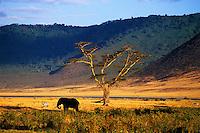 Male elephant in Ngorongoro crater at sunset, Tanzania, 2006
