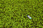 Floating Fern (Salvinia natans), an invasive species, and spray can in urban wetland, Diyasaru Park, Colombo, Sri Lanka