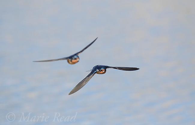 Barn Swallow (Hirundo rustica) two adults in flight over water, Bear River Migratory Bird Refuge, Utah, USA