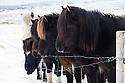 Icelandic horses, in a snowy field, Thingvellir National Park, Iceland.