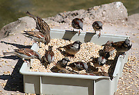 Stock image of group of house sparrows eating wheat grains from a box, in Berlin zoological garden.<br /> <br /> (For Editorial use only)
