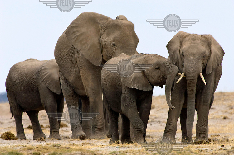 An African elephant family on the plains in Kenya's Amboseli National Park.
