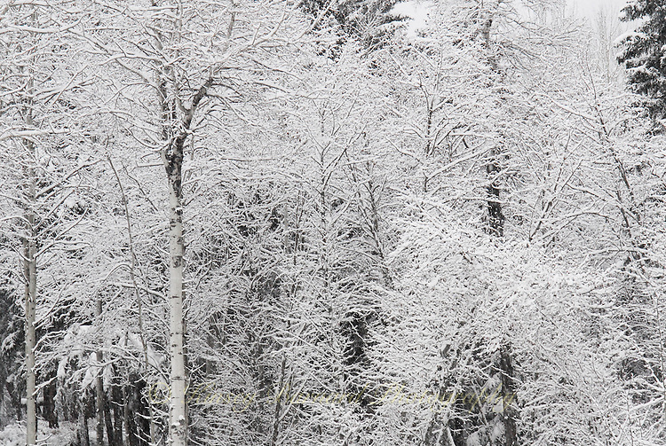 Snow covered aspen and other forest trees.