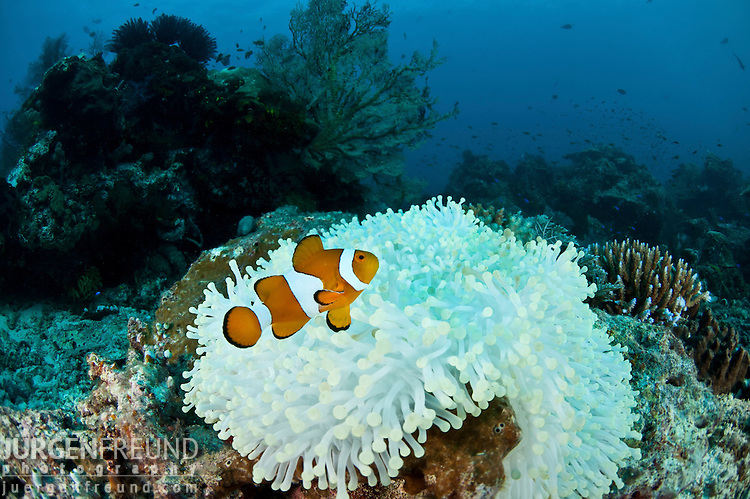 Bleaching anemone with a true clownfish (Amphiprion percula).