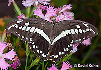 0419-1101  Black Swallowtail, Papilio spp.  © David Kuhn/Dwight Kuhn Photography