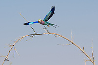 Lilac-breasted Roller (Coracias caudatus) takes flight. The most colorful bird we've ever seen. So nice to catch this one in flight, with both top and bottom of its brilliant wings visible.