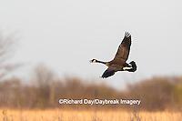 00748-05810 Canada Goose (Branta canadensis) in flight, Marion County, IL